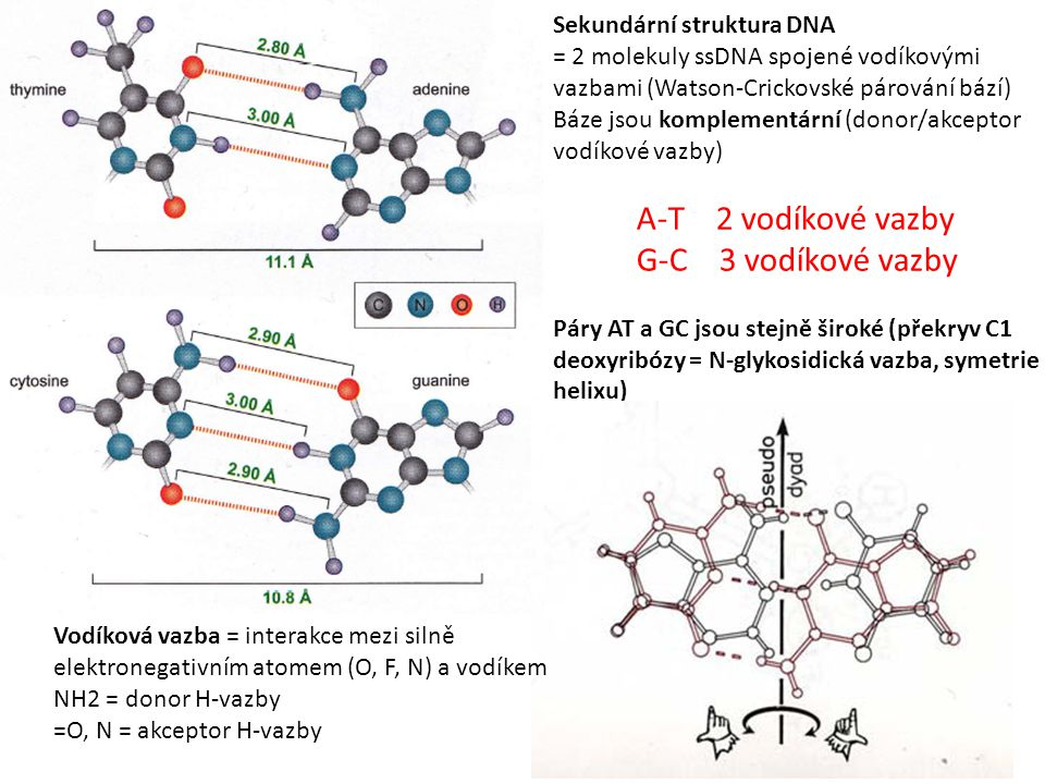 G-C 3 vodíkové vazby Sekundární struktura DNA