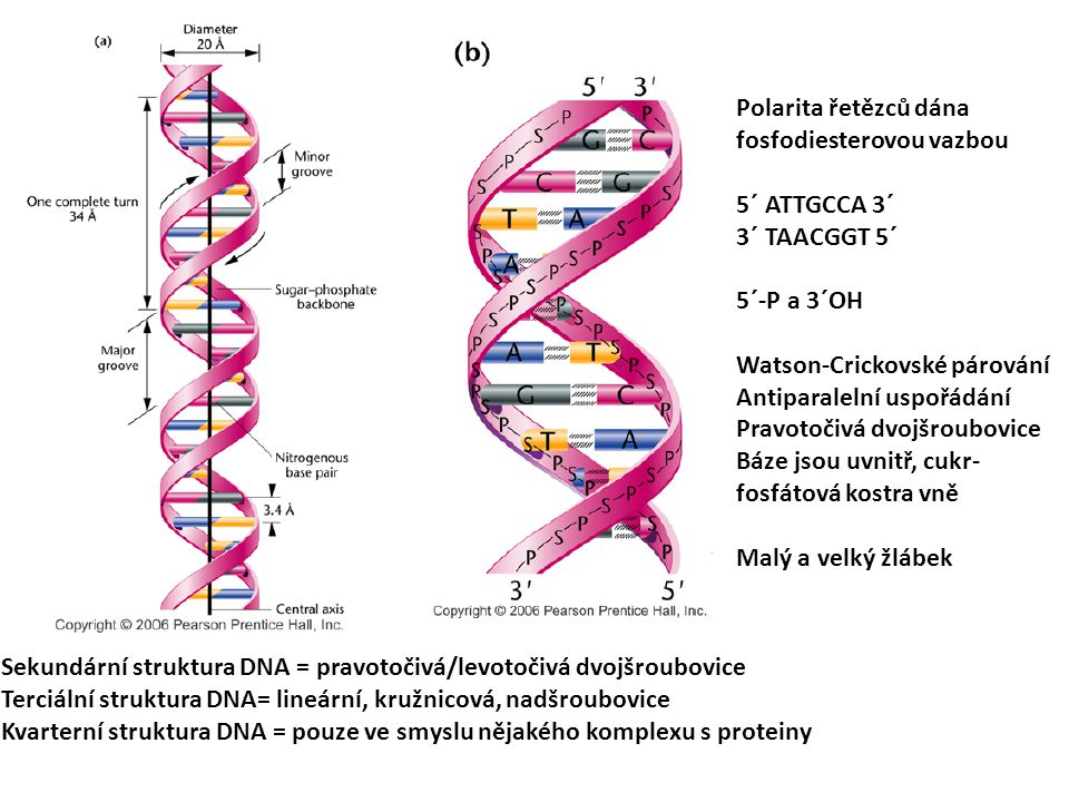 2525 Polarita řetězců dána fosfodiesterovou vazbou. 5´ ATTGCCA 3´ 3´ TAACGGT 5´ 5´-P a 3´OH. Watson-Crickovské párování.