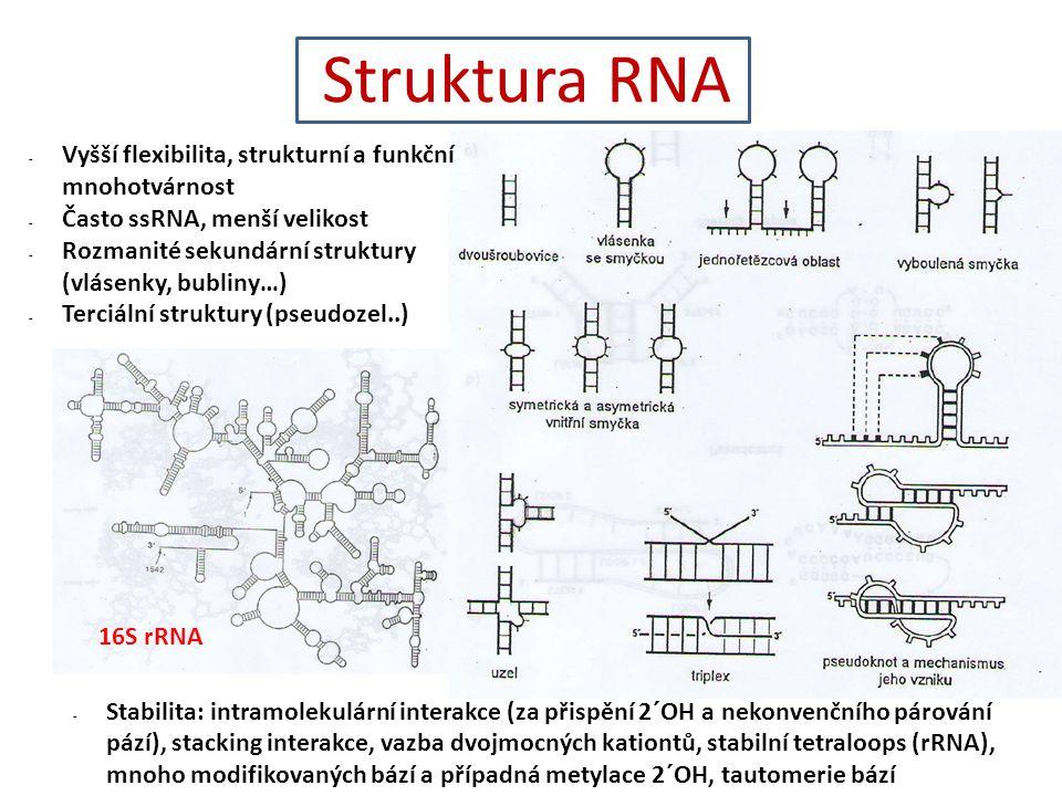 Struktura RNA Vyšší flexibilita, strukturní a funkční mnohotvárnost