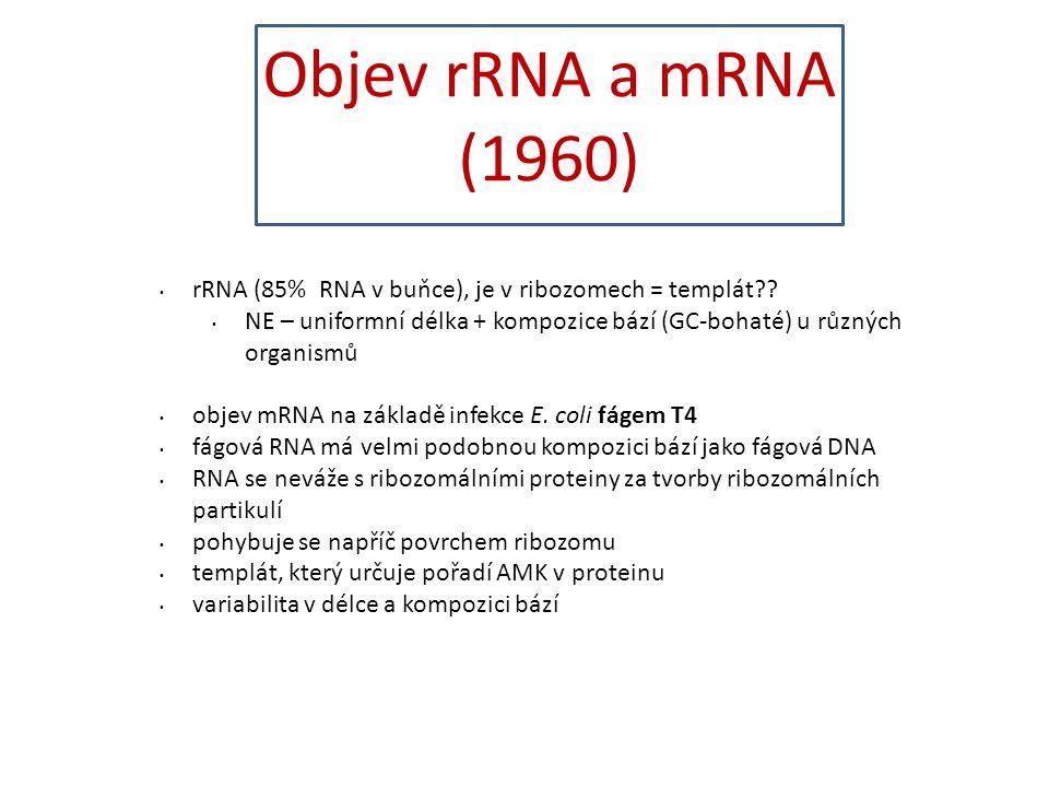4040 Objev rRNA a mRNA (1960) rRNA (85% RNA v buňce), je v ribozomech = templát