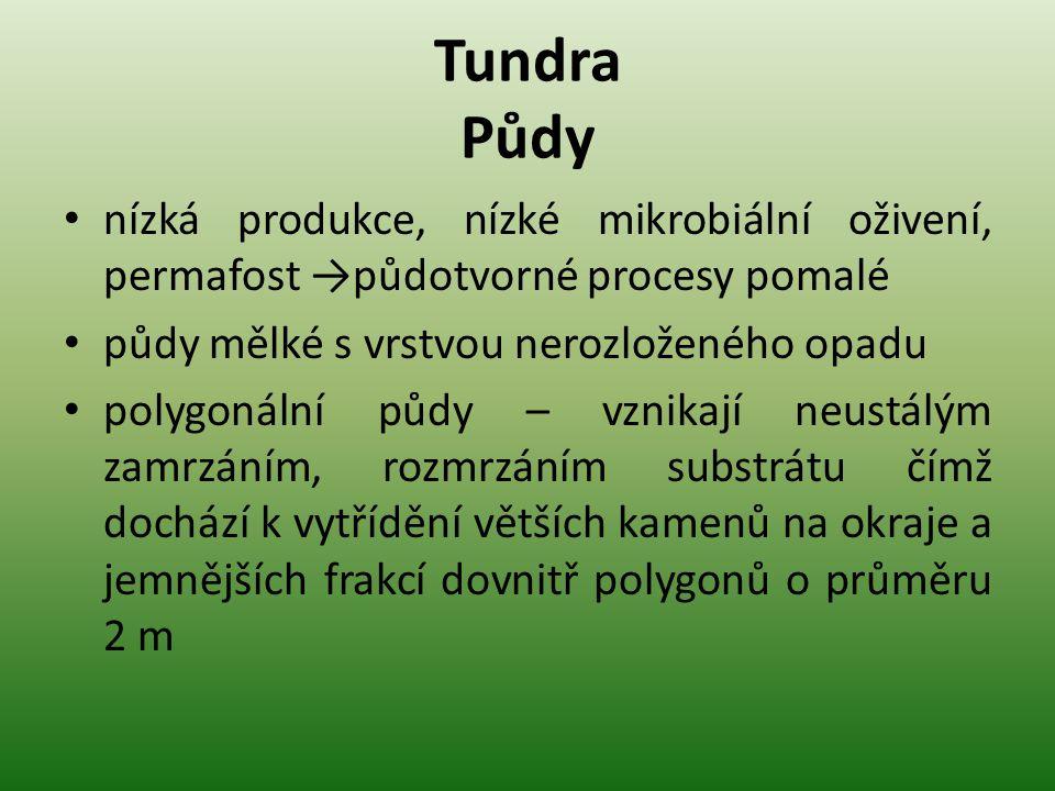 Tundra Půdy nízká produkce, nízké mikrobiální oživení, permafost →půdotvorné procesy pomalé. půdy mělké s vrstvou nerozloženého opadu.