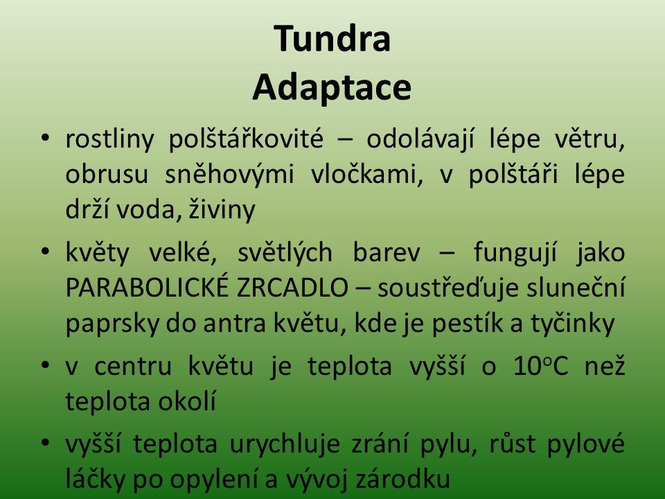 Tundra Adaptace rostliny polštářkovité – odolávají lépe větru, obrusu sněhovými vločkami, v polštáři lépe drží voda, živiny.