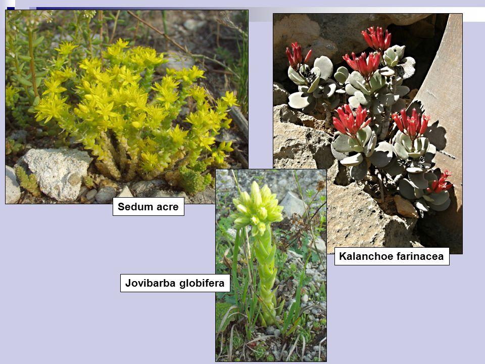 Sedum acre Kalanchoe farinacea Jovibarba globifera