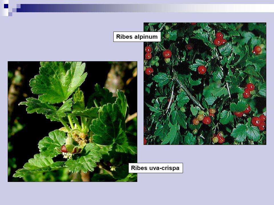 Ribes alpinum Ribes uva-crispa