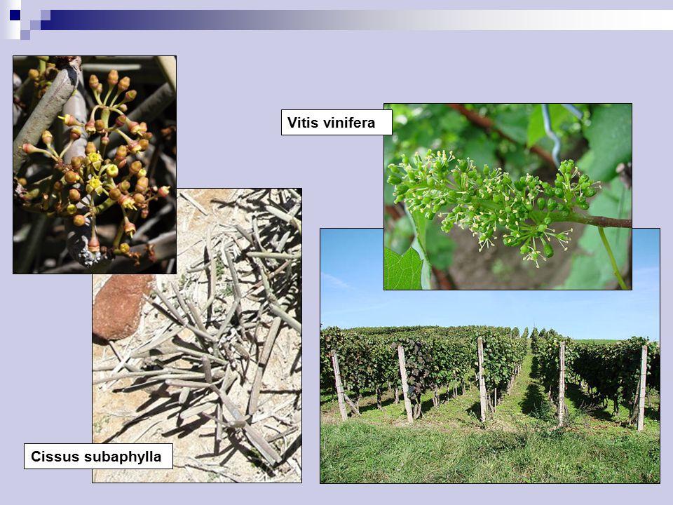 Vitis vinifera Cissus subaphylla