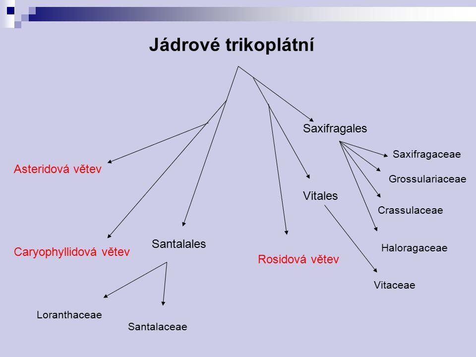 Jádrové trikoplátní Saxifragales Asteridová větev Vitales Santalales
