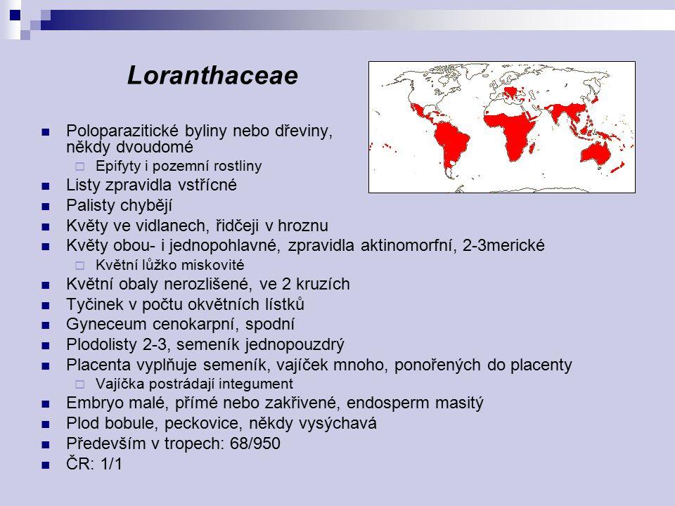 Loranthaceae Poloparazitické byliny nebo dřeviny, někdy dvoudomé