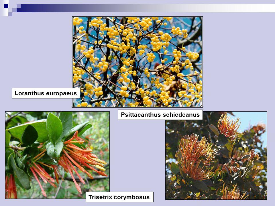 Loranthus europaeus Psittacanthus schiedeanus Trisetrix corymbosus
