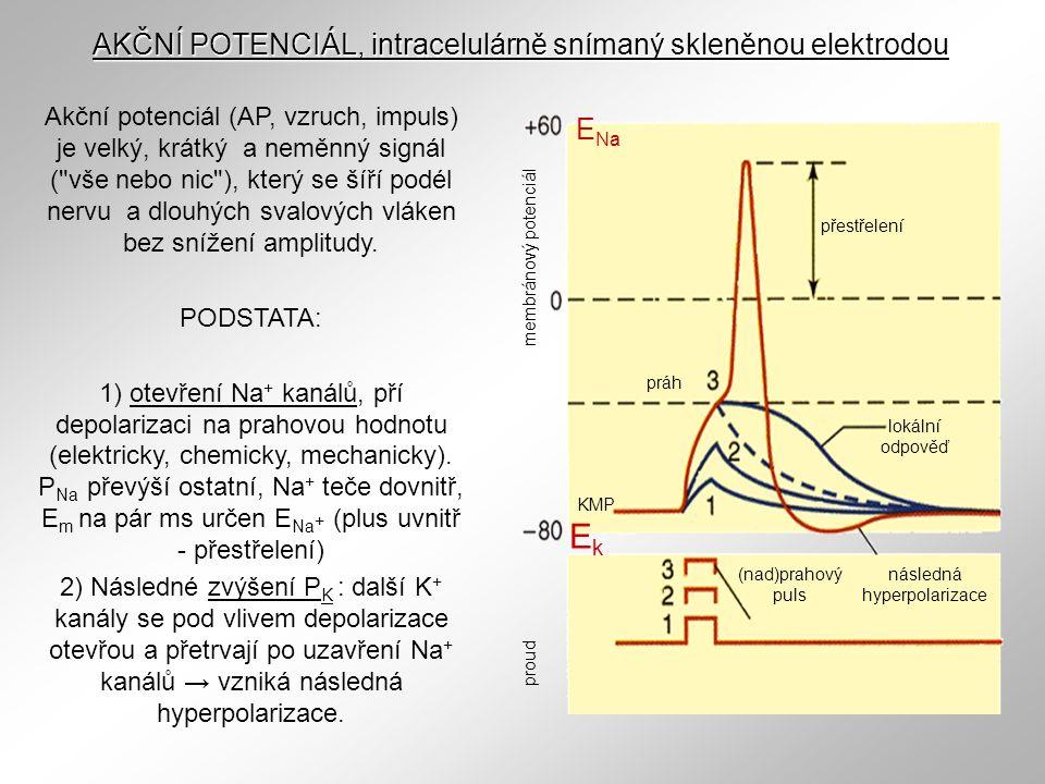Ek AKČNÍ POTENCIÁL, intracelulárně snímaný skleněnou elektrodou ENa
