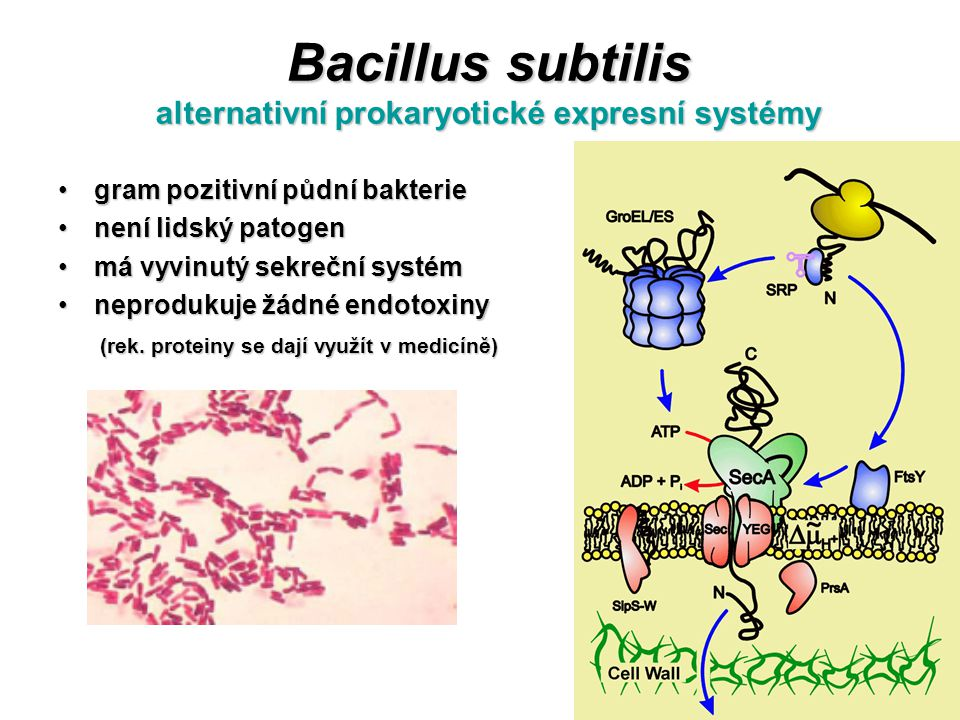 Bacillus subtilis alternativní prokaryotické expresní systémy