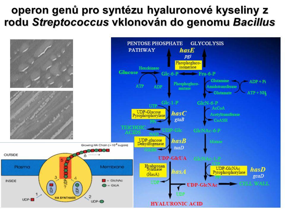operon genů pro syntézu hyaluronové kyseliny z rodu Streptococcus vklonován do genomu Bacillus