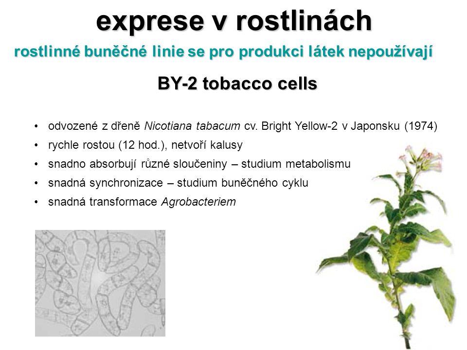 exprese v rostlinách BY-2 tobacco cells