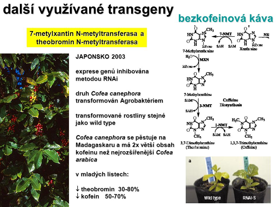 7-metylxantin N-metyltransferasa a theobromin N-metyltransferasa