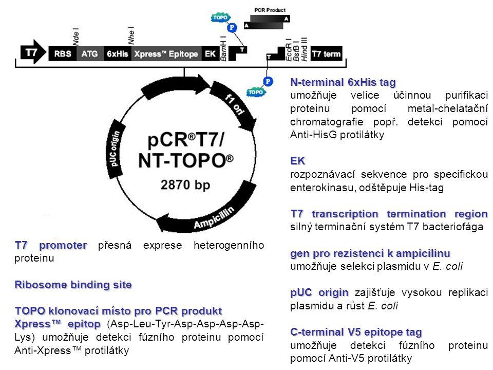 N-terminal 6xHis tag umožňuje velice účinnou purifikaci proteinu pomocí metal-chelatační chromatografie popř. detekci pomocí Anti-HisG protilátky.