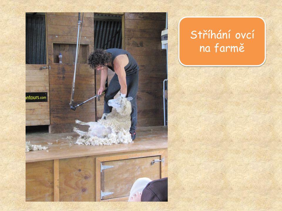 Stříhání ovcí na farmě