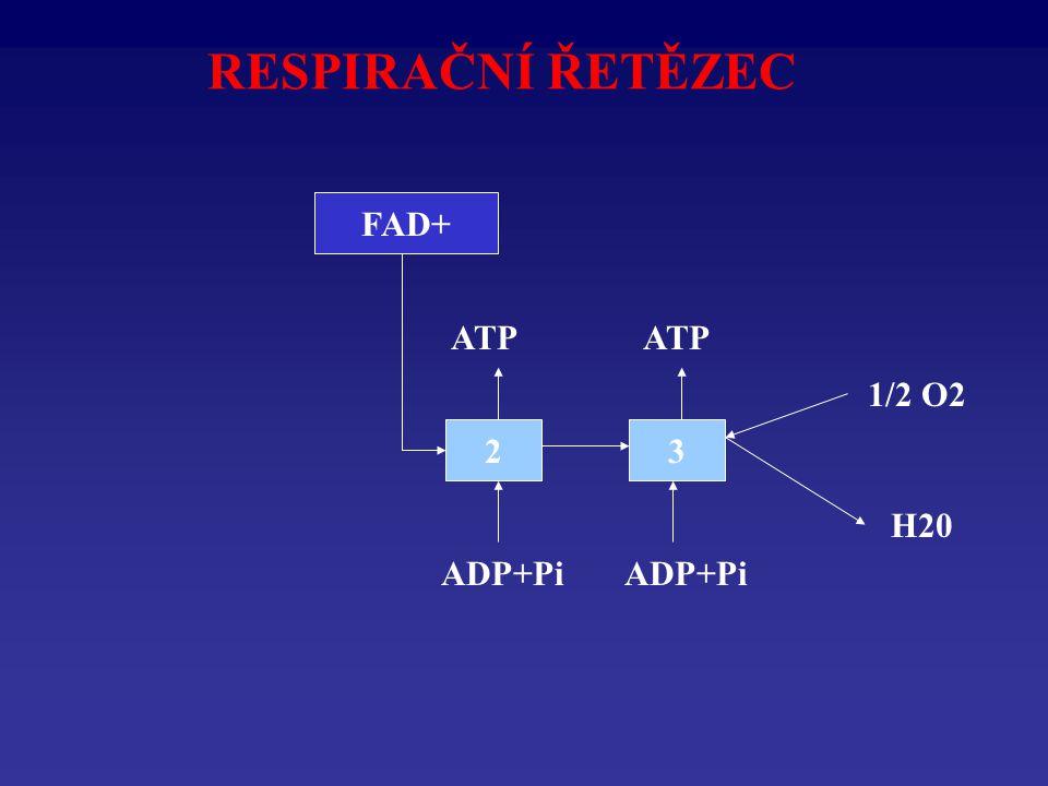 RESPIRAČNÍ ŘETĚZEC FADH2 FAD+ ATP ATP 1/2 O2 2 3 H20 ADP+Pi ADP+Pi