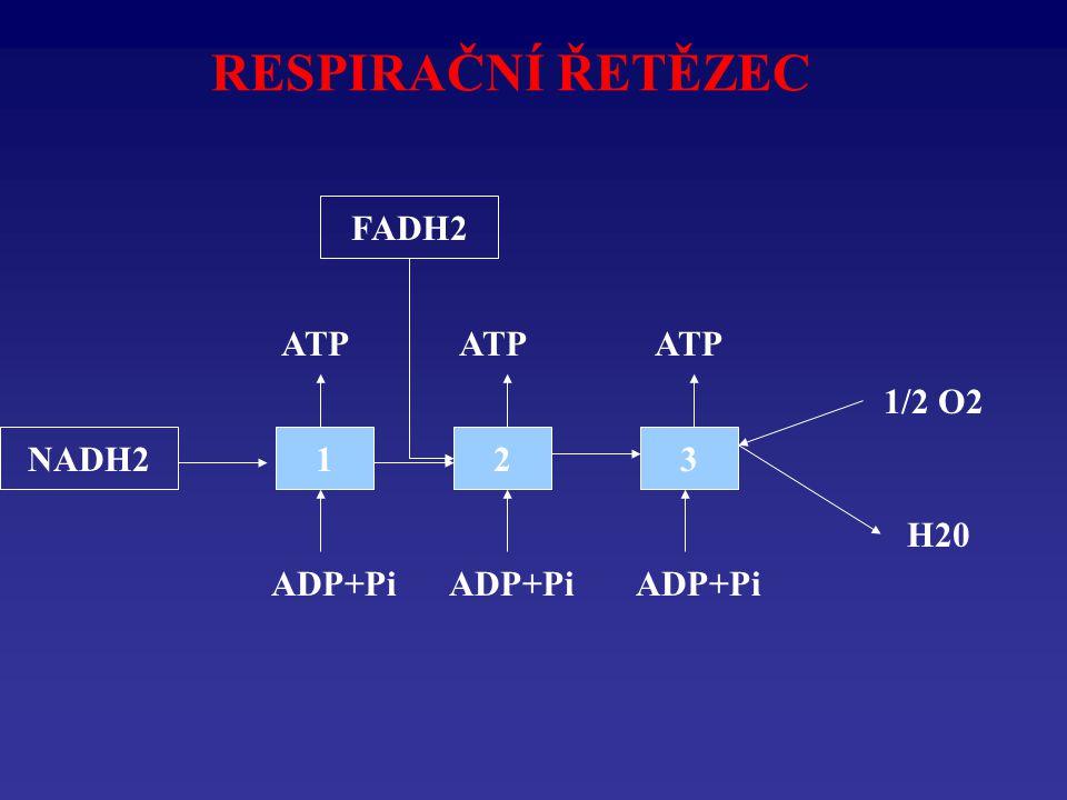 RESPIRAČNÍ ŘETĚZEC FADH2 ATP ATP ATP 1/2 O2 NADH2 1 2 3 H20 ADP+Pi