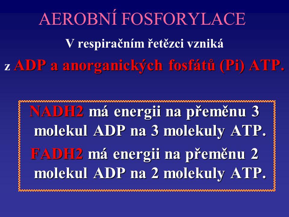AEROBNÍ FOSFORYLACE V respiračním řetězci vzniká. z ADP a anorganických fosfátů (Pi) ATP.