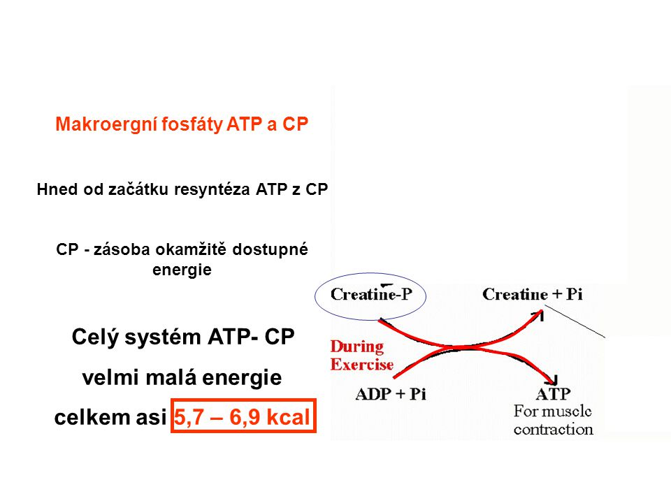 Celý systém ATP- CP velmi malá energie celkem asi 5,7 – 6,9 kcal