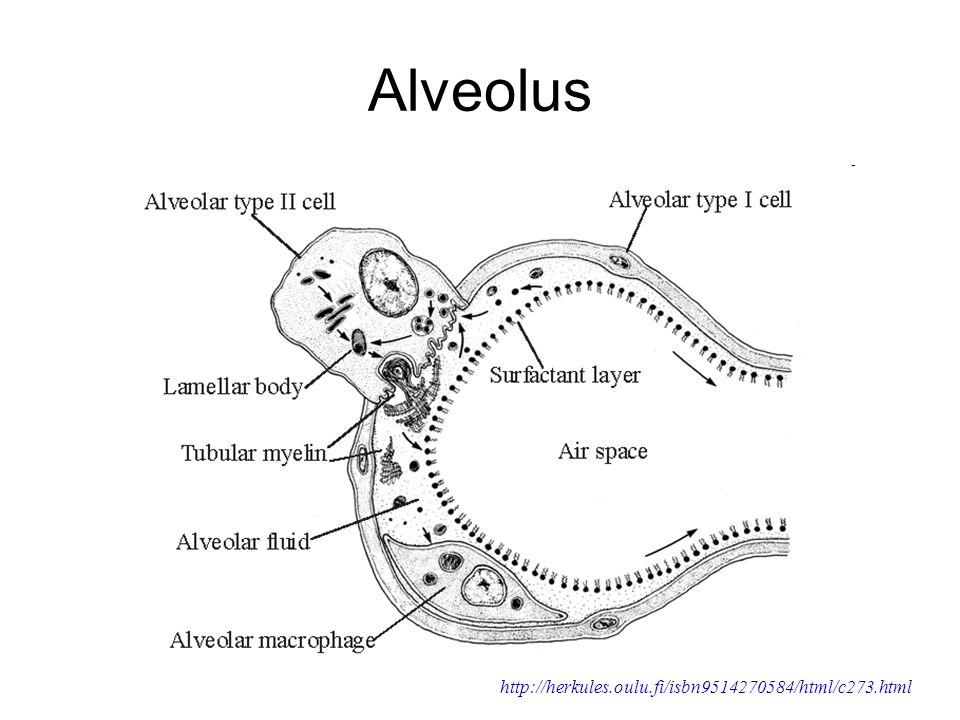 Alveolus http://herkules.oulu.fi/isbn9514270584/html/c273.html