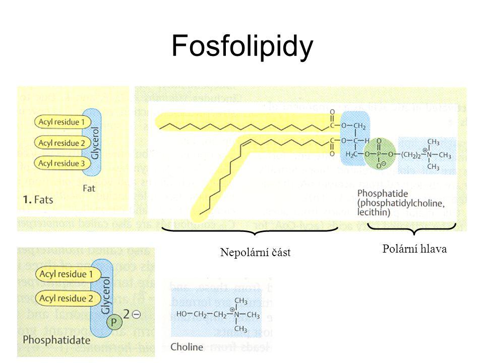 Fosfolipidy Nepolární část Polární hlava