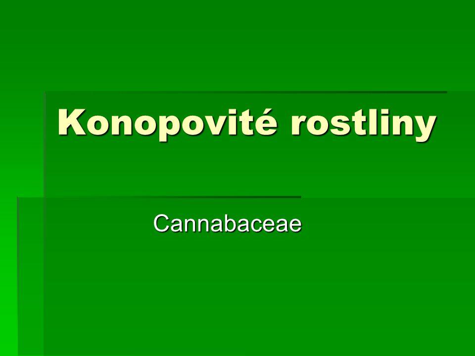 Konopovité rostliny Cannabaceae
