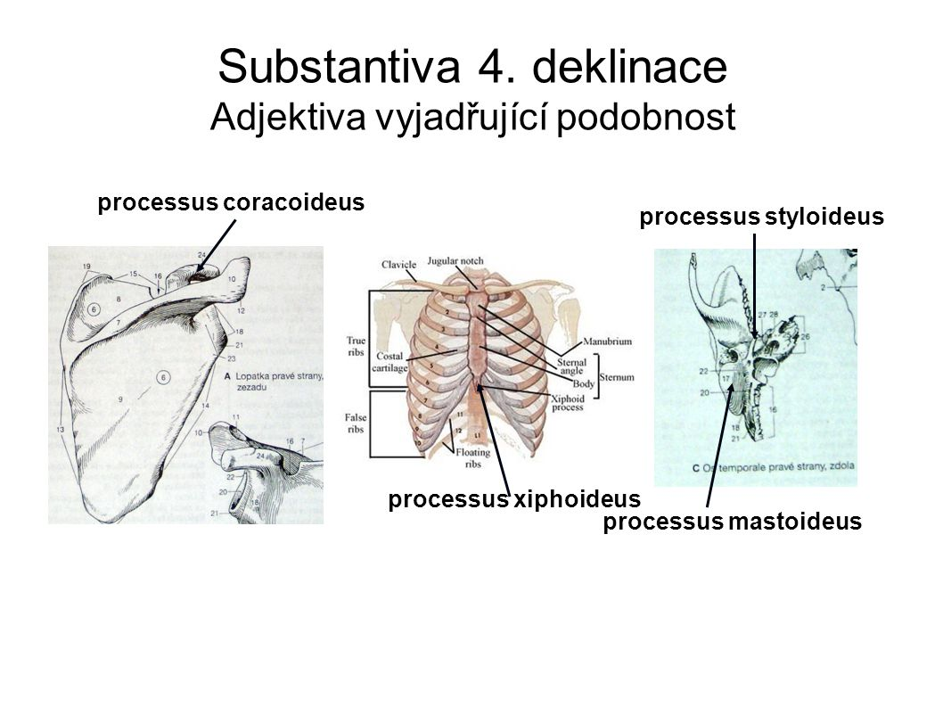 processus coracoideus