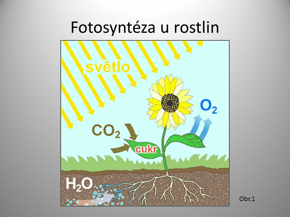 Fotosyntéza u rostlin Obr.1