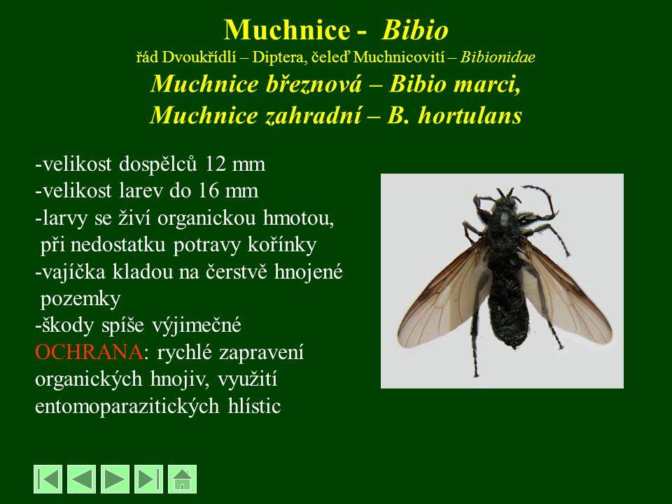 Muchnice - Bibio řád Dvoukřídlí – Diptera, čeleď Muchnicovití – Bibionidae Muchnice březnová – Bibio marci, Muchnice zahradní – B. hortulans