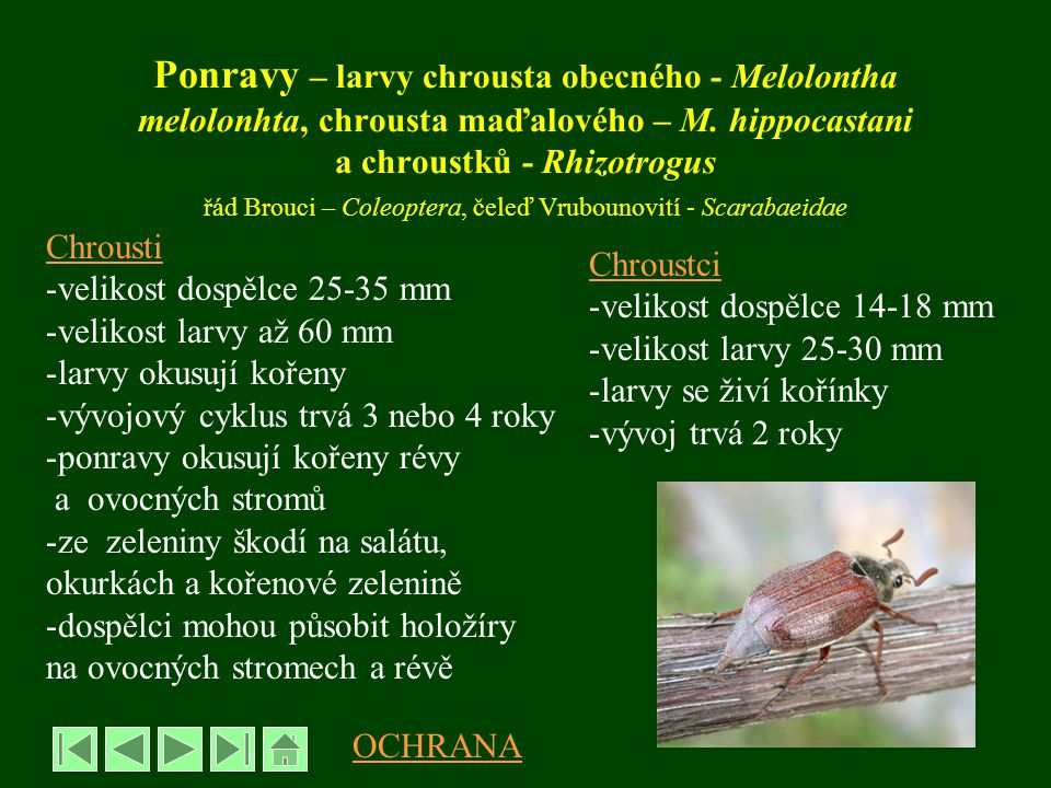 Ponravy – larvy chrousta obecného - Melolontha melolonhta, chrousta maďalového – M. hippocastani a chroustků - Rhizotrogus řád Brouci – Coleoptera, čeleď Vrubounovití - Scarabaeidae