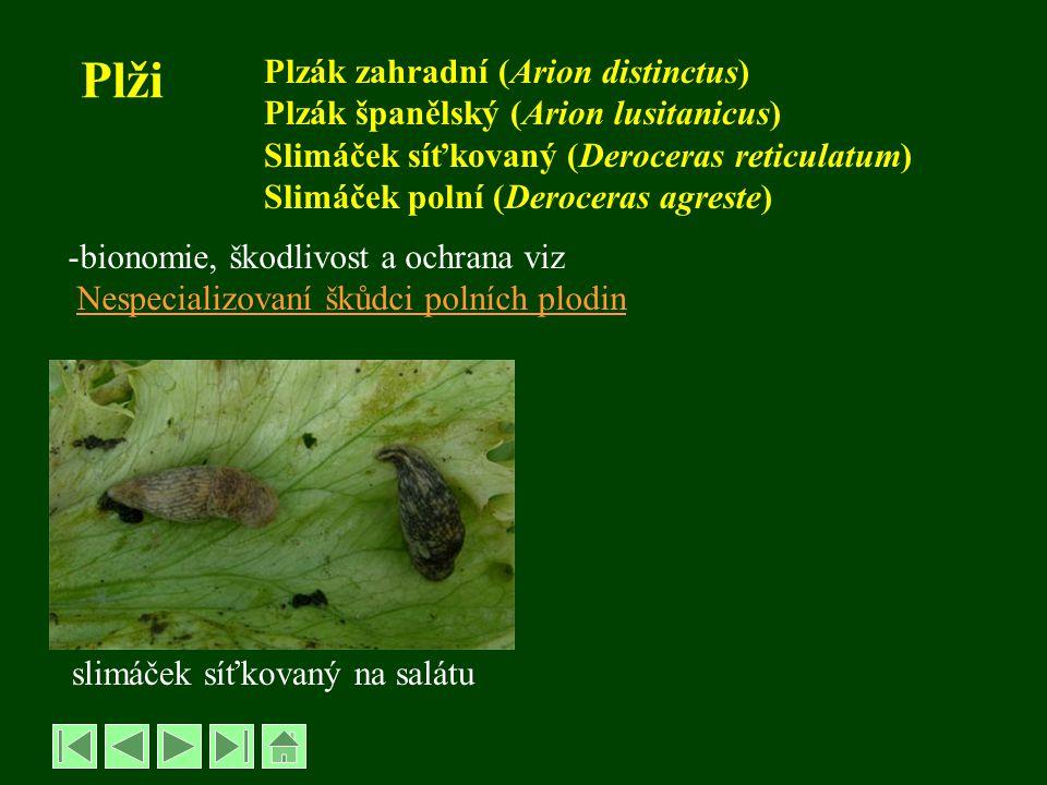 Plži Plzák zahradní (Arion distinctus)