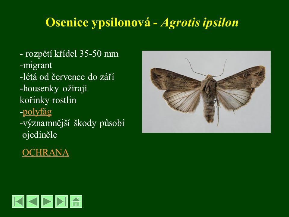 Osenice ypsilonová - Agrotis ipsilon