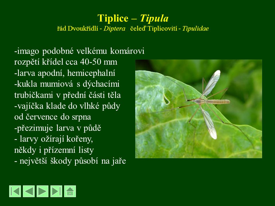 Tiplice – Tipula řád Dvoukřídlí - Diptera čeleď Tiplicovití - Tipulidae