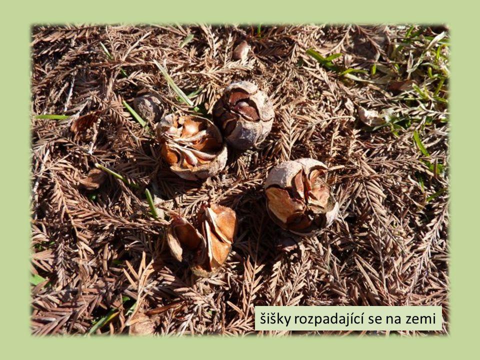 šišky rozpadající se na zemi