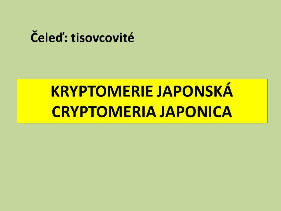 KRYPTOMERIE JAPONSKÁ CRYPTOMERIA JAPONICA