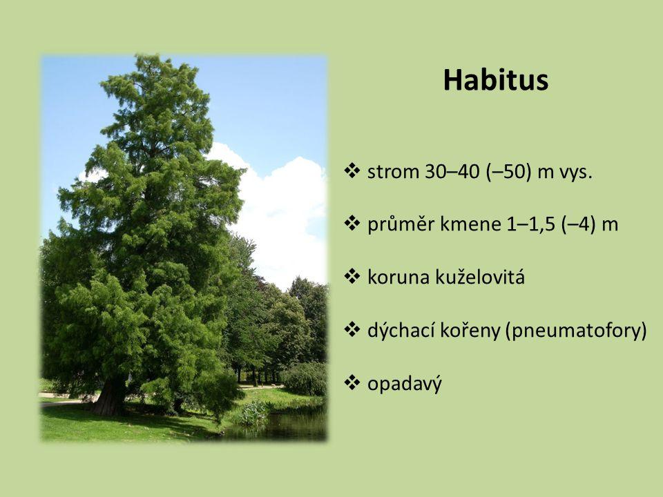 Habitus strom 30–40 (–50) m vys. průměr kmene 1–1,5 (–4) m