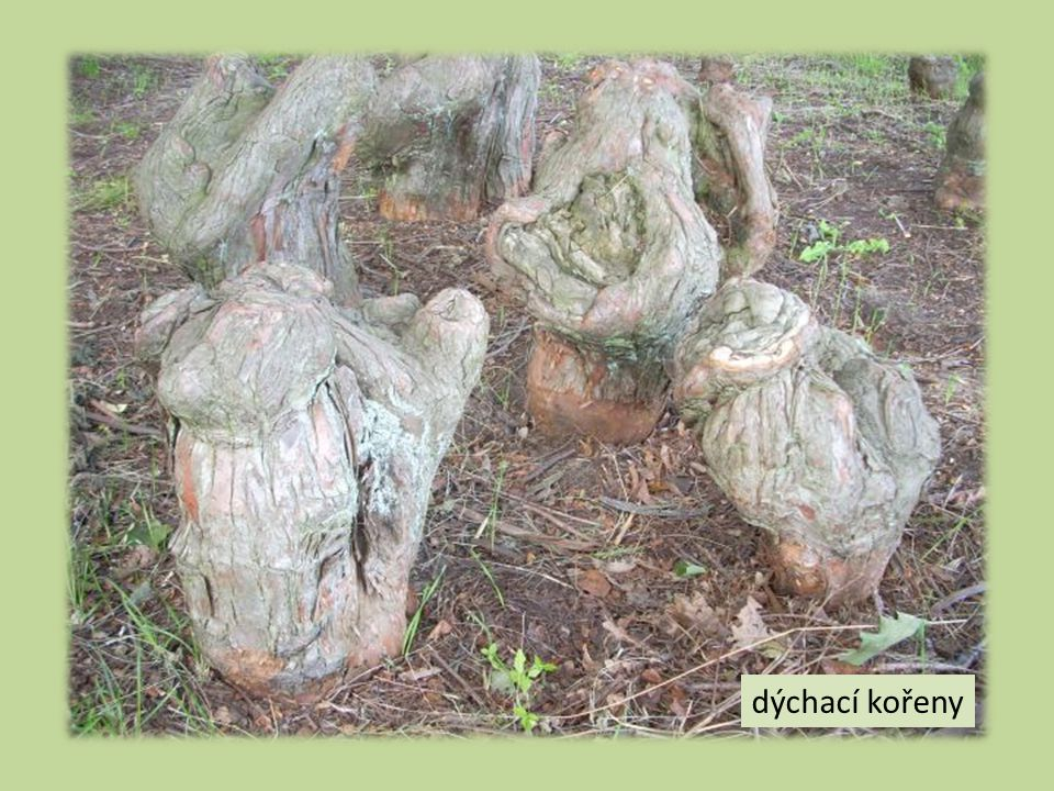 dýchací kořeny