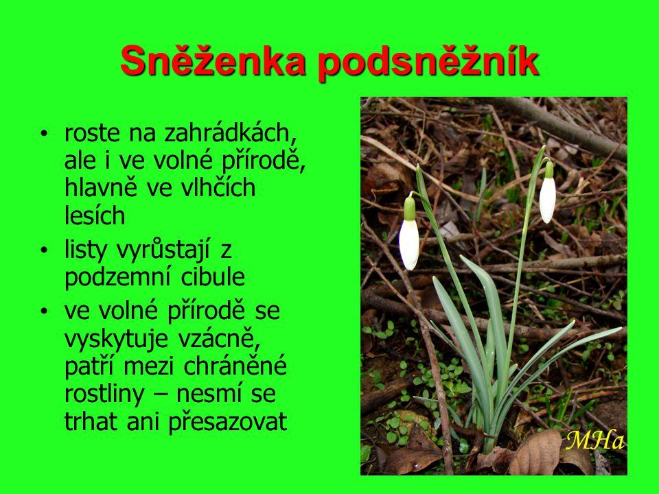 Sněženka podsněžník roste na zahrádkách, ale i ve volné přírodě, hlavně ve vlhčích lesích. listy vyrůstají z podzemní cibule.
