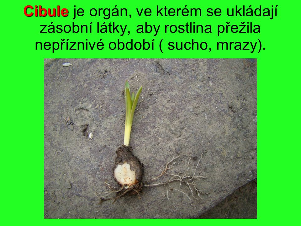 Cibule je orgán, ve kterém se ukládají zásobní látky, aby rostlina přežila nepříznivé období ( sucho, mrazy).