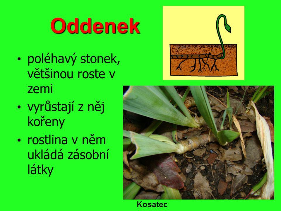 Oddenek poléhavý stonek, většinou roste v zemi vyrůstají z něj kořeny