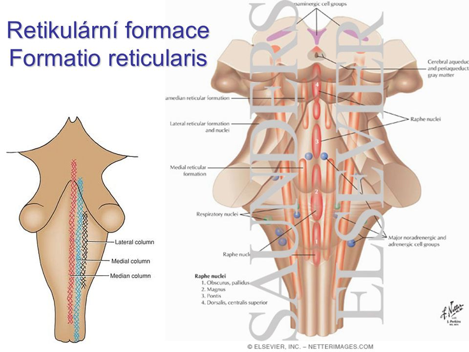 Retikulární formace Formatio reticularis