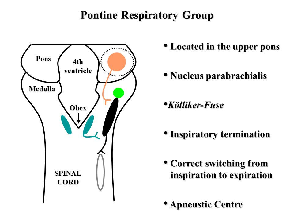 Pontine Respiratory Group