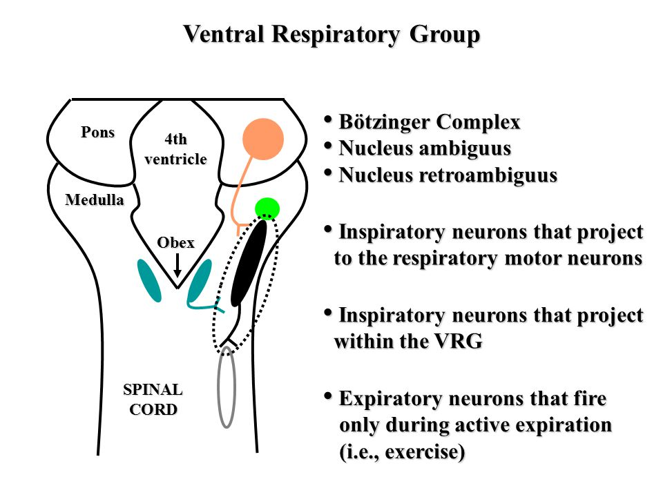 Ventral Respiratory Group