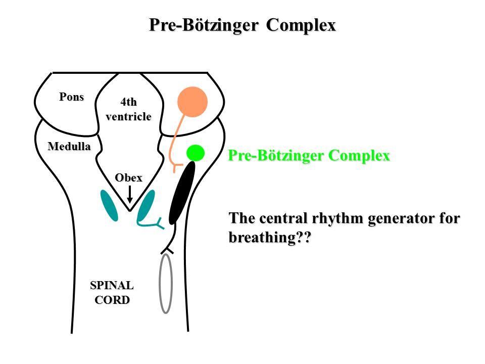 Pre-Bötzinger Complex Pre-Bötzinger Complex