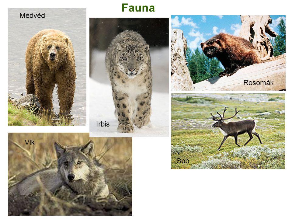 Fauna Medvěd Rosomák Irbis Vlk Sob