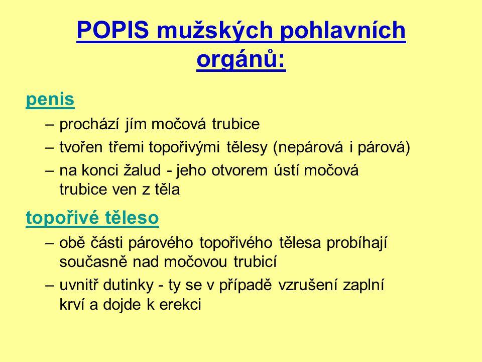 POPIS mužských pohlavních orgánů: