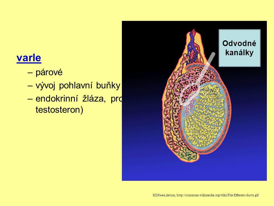 varle párové vývoj pohlavní buňky (spermie)