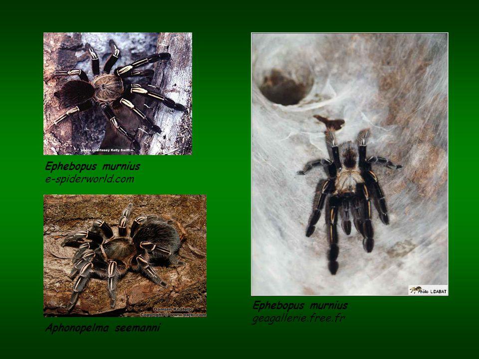 Ephebopus murnius e-spiderworld.com Ephebopus murnius geagallerie.free.fr Aphonopelma seemanni