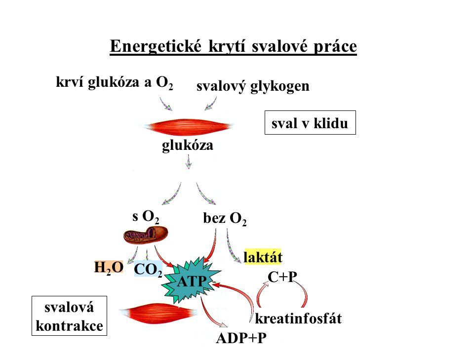 krví glukóza a O2 svalový glykogen sval v klidu glukóza s O2 bez O2