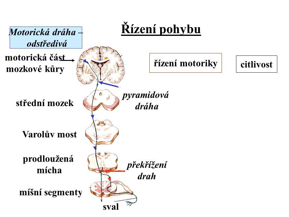 Řízení pohybu Motorická dráha – odstředivá. řízení motoriky. motorická část. mozkové kůry. citlivost.
